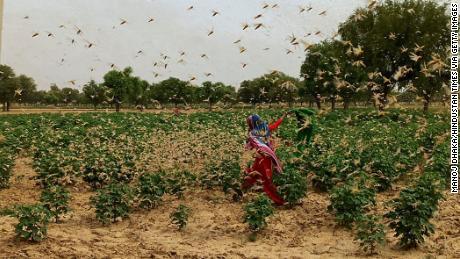 New Delhi desert grasshopper adjacent to high alarm after neighboring Gurgaon herd